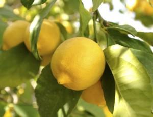 лимоново дърво