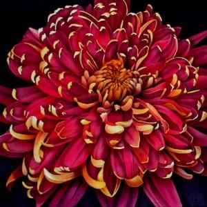 Chrysanthemum6