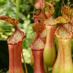 Хищни растения